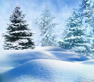 Blaufichte im Schnee
