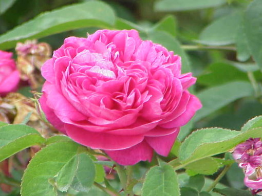 Rose Damascena